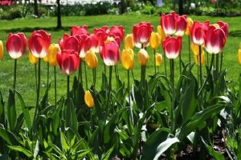 Conjunto de tulipanes
